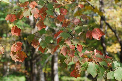 ウリハダカエデの紅葉がきれい