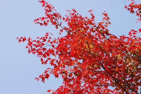 イロハモミジの紅葉が鮮やか