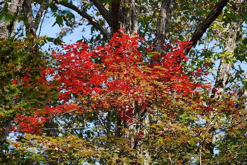 コハウチワカエデの紅葉が目立った