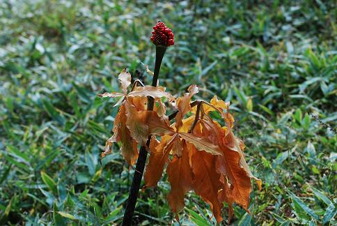 スルガテンナンショウの黄葉が