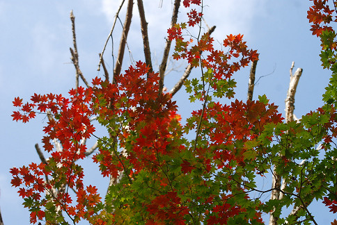 コハウチワカエデの葉が二色