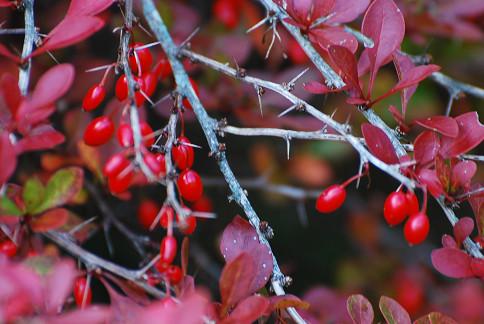 メギの棘と赤い実