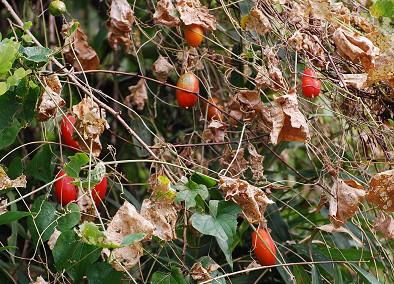 カラスウリの実がいっぱい
