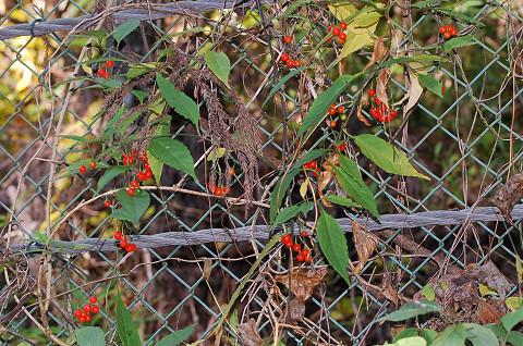 マルバノホロシの赤い実1