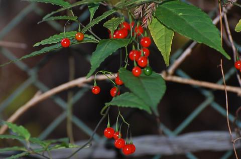 マルバノホロシの赤い実2