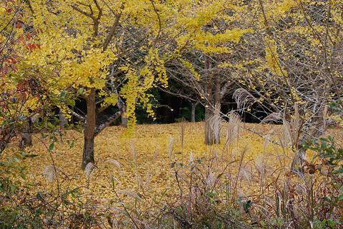 イチョウの木の下が落ち葉で