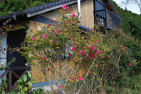 サザンカの花がいっぱい