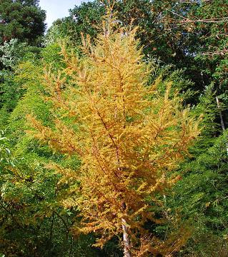 庭のカラマツの黄葉