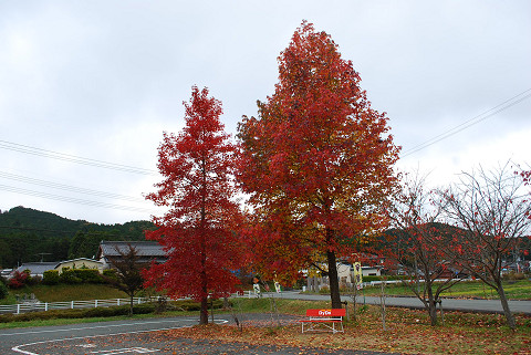 フウの紅葉がきれい