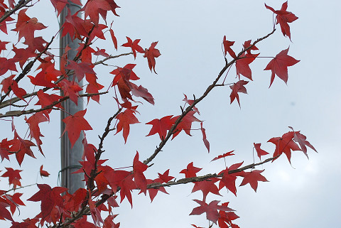 フウの紅葉した葉が
