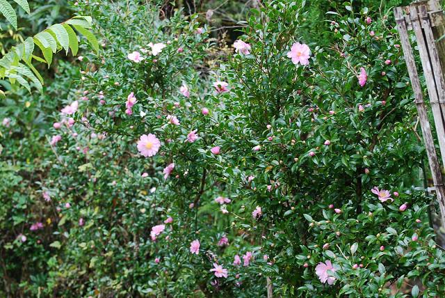庭のピンクのサザンカが