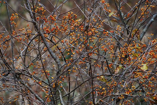 ツルウメモドキの種がいっぱい