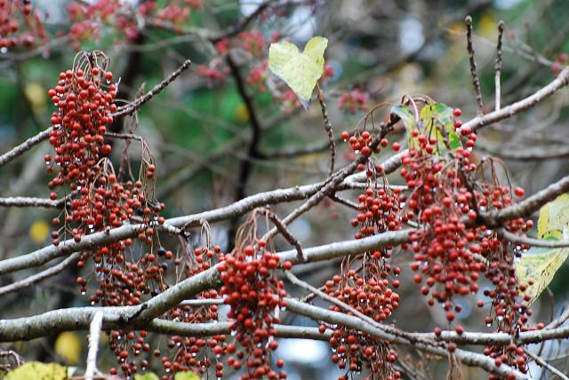 本宮山イイギリの赤い実が2