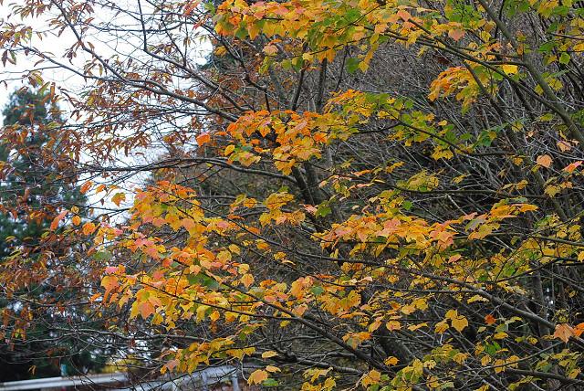 ウリハダカエデの黄葉が