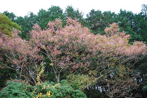 ゴンズイの花序がピンク色に