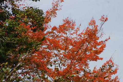 この紅葉の木は