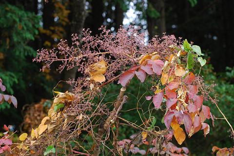 タラノキのピンクの花序