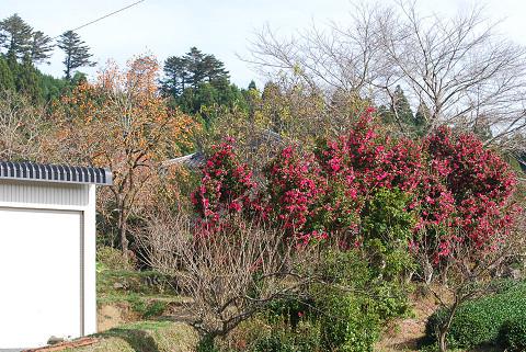 赤いサザンカの樹々が