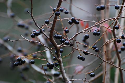 ナツハゼの黒い実がきれい