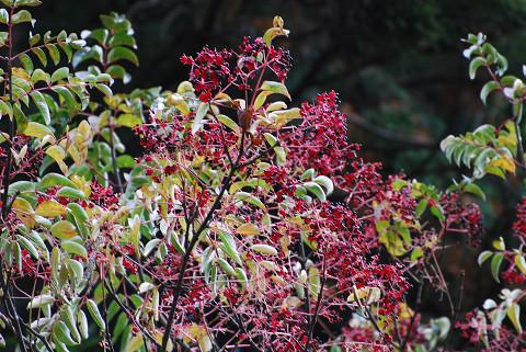 ゴンズイの赤い実が美しい