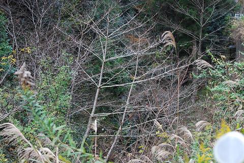 イイギリの枝ぶりが