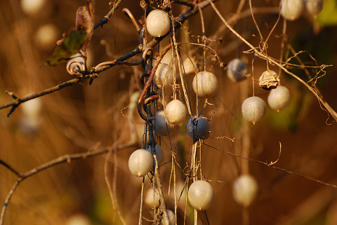 スズメウリの白い実が3