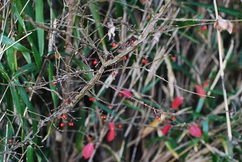 ニシキギの赤い実が