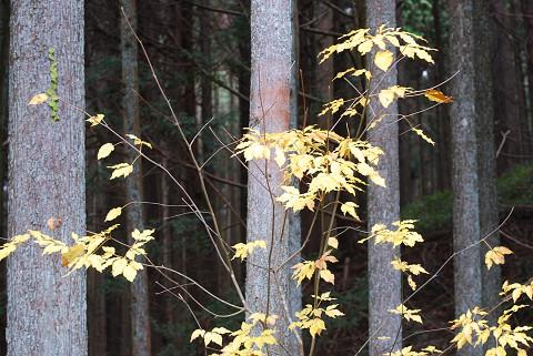 タカノツメの黄葉がきれい