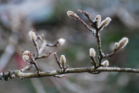 シデコブシの花芽が