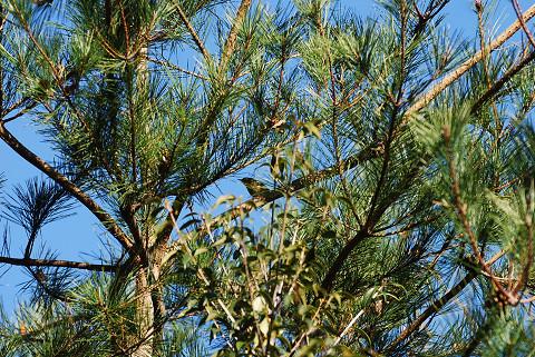 メジロが木の枝に