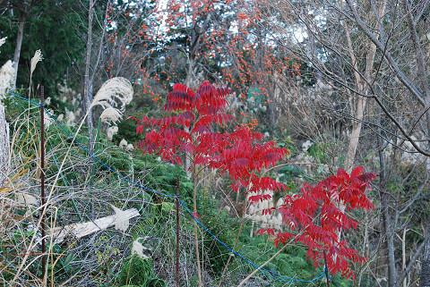 ヤマウルシの紅葉と柿の実