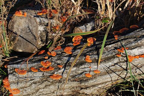 枯れ木に赤いキノコが
