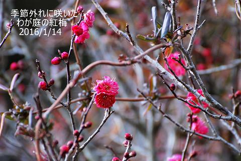 狂い咲きの梅2