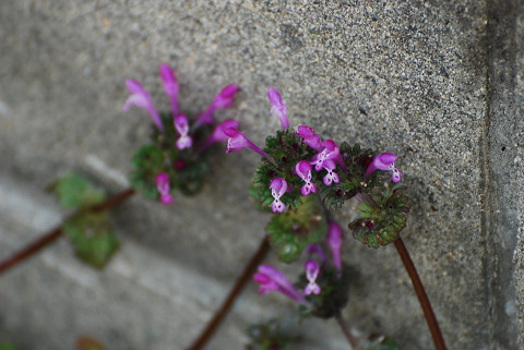 ホトケノザの花は