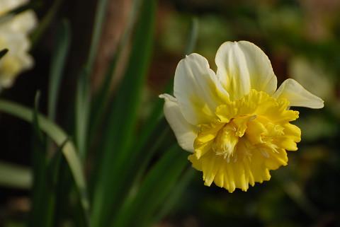 スイセンの花がきれい1