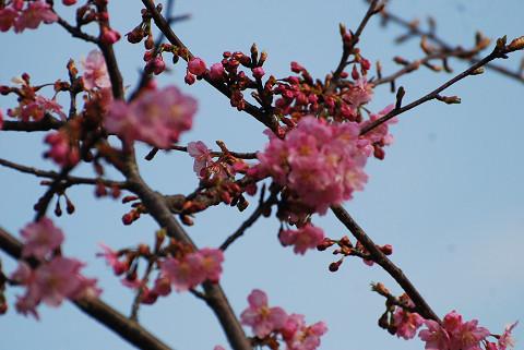 コウバイの花が美しい2