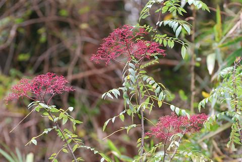 イヌザンショウの赤い花序