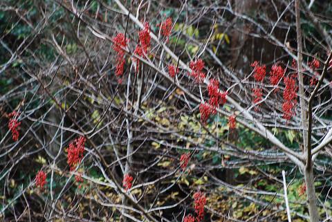 イイギリの赤い実が垂れて