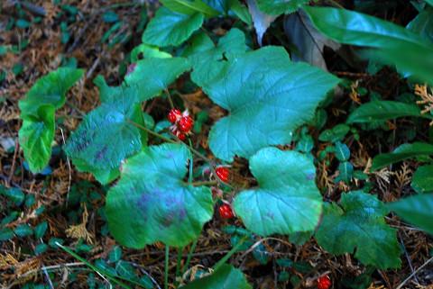 フユイチゴの赤い実が