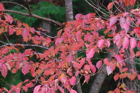 ヤマザクラの紅葉がきれい
