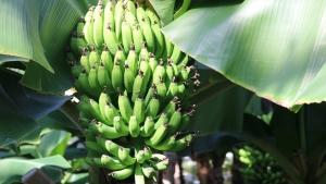 青々バナナ