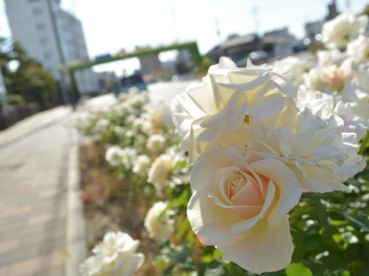 20151031_緑町公園のバラ11