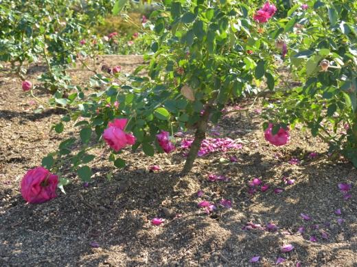 20151031_緑町公園のバラ6