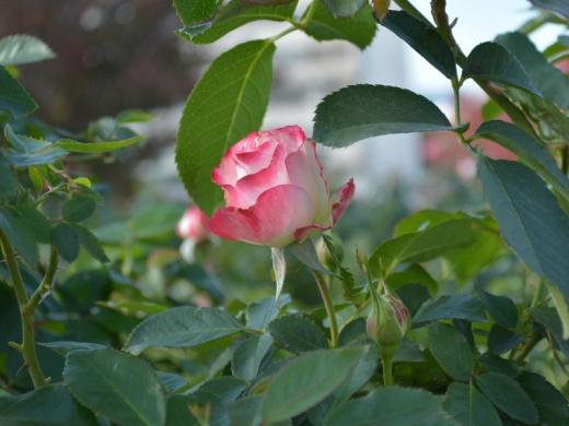 20151031_緑町公園のバラ3