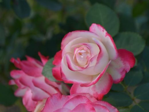 20151031_緑町公園のバラ2