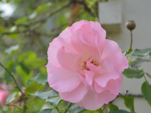 20151129_一休さんのバラ花壇7