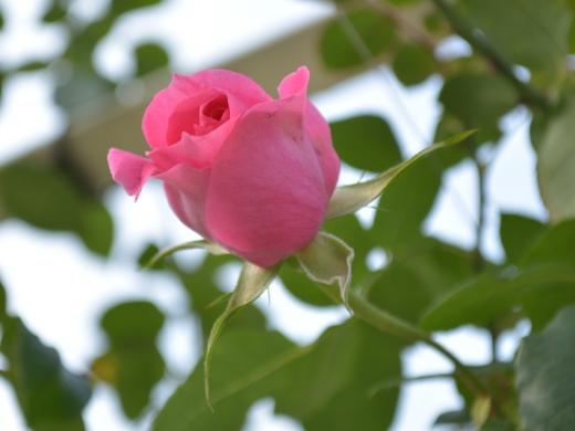 20151129_一休さんのバラ花壇6