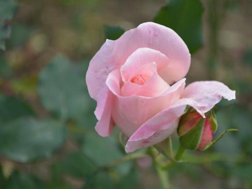 20151129_一休さんのバラ花壇12