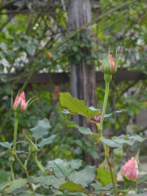 20151129_一休さんのバラ花壇11