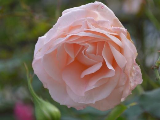 20151129_一休さんのバラ花壇10